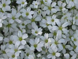 Hvite Perennial blomster