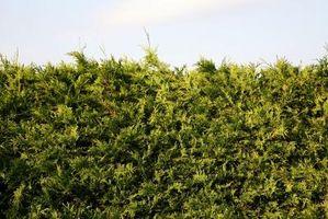 Hvordan slå en Juniper Busk Into en Bonsai