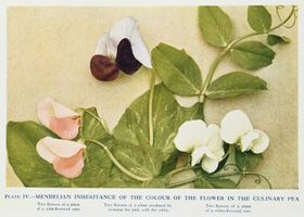 Hvilken del av en ert Flower utvikler seg til en Pea Pod?
