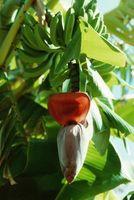 Vil Roundup Kill Banana planter?