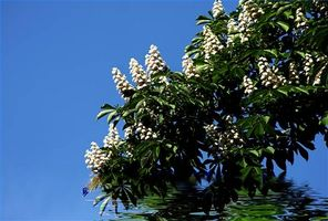 Fakta om Horse Chestnut Trees