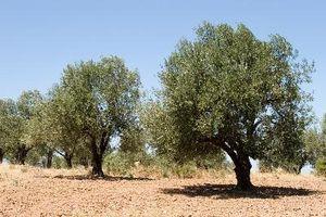 Den Negl Olives