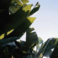 Hvordan ta vare på en Banana Leaf Plant