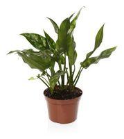 Melete bugs på innendørs planter