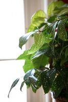 Brune tips på bladene av My Djevelens Ivy eller gylne Pothos