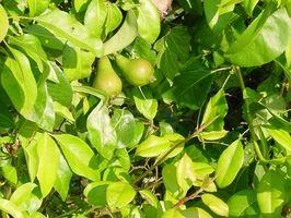 Hvorfor er bladene på My Pear Tree Turning Yellow?