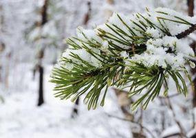Hvordan identifisere Typer Pine Trees
