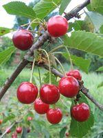 Hvordan Grow Nanking Cherries