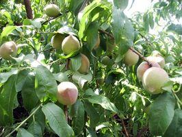 Hvordan Gjødsle Gammel Peach Trees