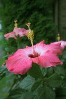 Hvordan Shape en Hibiscus treet