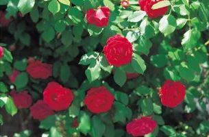 riktig tidspunkt for beskjæring av roser