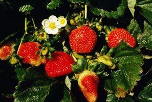 Jordbær Vil ikke Ripen