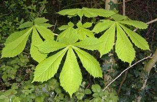 Er Horse Chestnut Trees farlig for hunder?