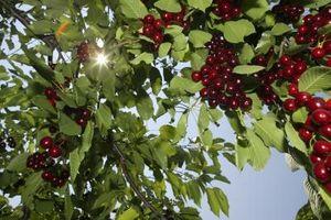 Informasjon om sprøyting frukttrær i Western Oregon