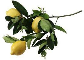 Hvordan Grow Forbedret Dwarf Meyer Lemon Trees i Houston, Texas