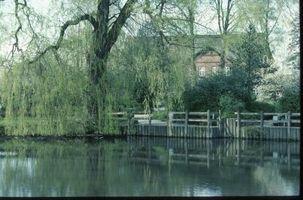 Hvordan fortelle om en Weeping Willow Tree Is Dead