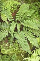 Hvordan Kill Outdoor Ferns