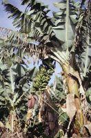 Døde Vekst på banan planter