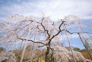 Hva Zone Har en Weeping Cherry Tree vokse i?