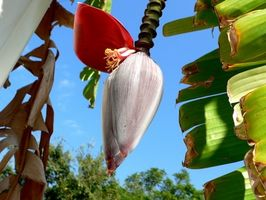 Vanlige Skadedyr på banan planter