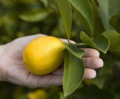 Hvordan Grow Dwarf Forbedret Meyer Lemon Trees i Houston