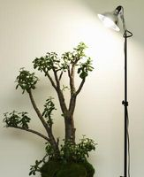 Hvordan behandle Jade Plant Rot