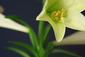 Hvordan å forplante påske Liljer