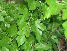 Hvordan Grow en Mulberry Tree (Morus alba)