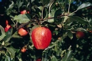 Hvordan å pode Én type Fruit Tree til en annen type Fruit Tree