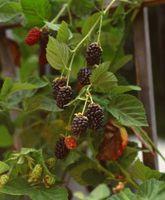 Informasjon om Thornblackberry Planter for Zones 8 og 9