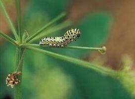 Bugs som liker Dill Seed