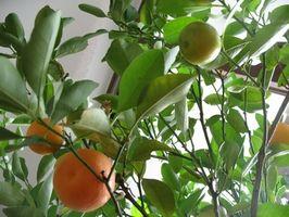 Hvordan får jeg min Orange Tree å produsere frukt?