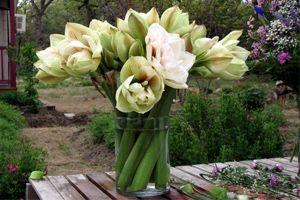 Hvordan plante astilbes for Planter des amaryllis