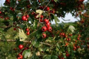 Nets for å holde fugler ut av frukttrær