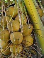 Coconut Palm Informasjon