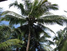 Gratis informasjon om kokospalmer
