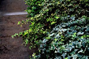 Klatreplanter for skyggefulle områder