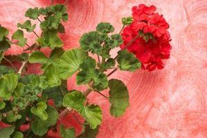 Gjør Geraniums Som sol eller skygge?