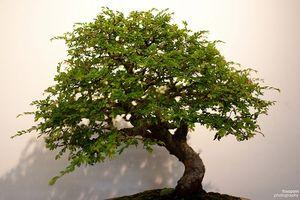 Bonsai trepleie for nybegynnere