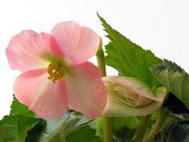 Enkle blomster å plante og vokse i sol eller skygge