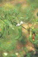 Hvordan Groom Pepper Plants