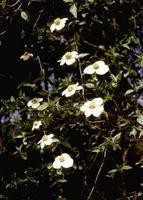 Hvite flekker på Filialer av Dogwood Busk