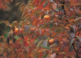 Hvordan å beskjære California Peach & Nektarin Trees