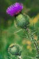 Thistle Type Weeds