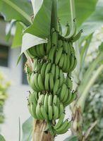 Hvordan lage banantrær trives i huset