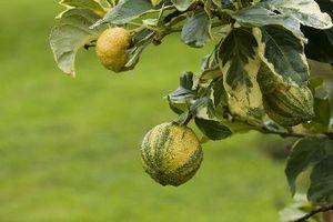 Har en spraglete Lemon Tree Have Thorns?