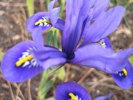 Blomster som betyr Faith