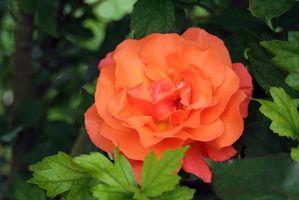 Hvordan å pode en Rose