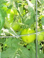 Planter som er gode til Plant i nærheten av tomatplanter for å hindre insekter