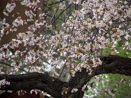 Hvordan Grow kirsebærtrær i North Carolina